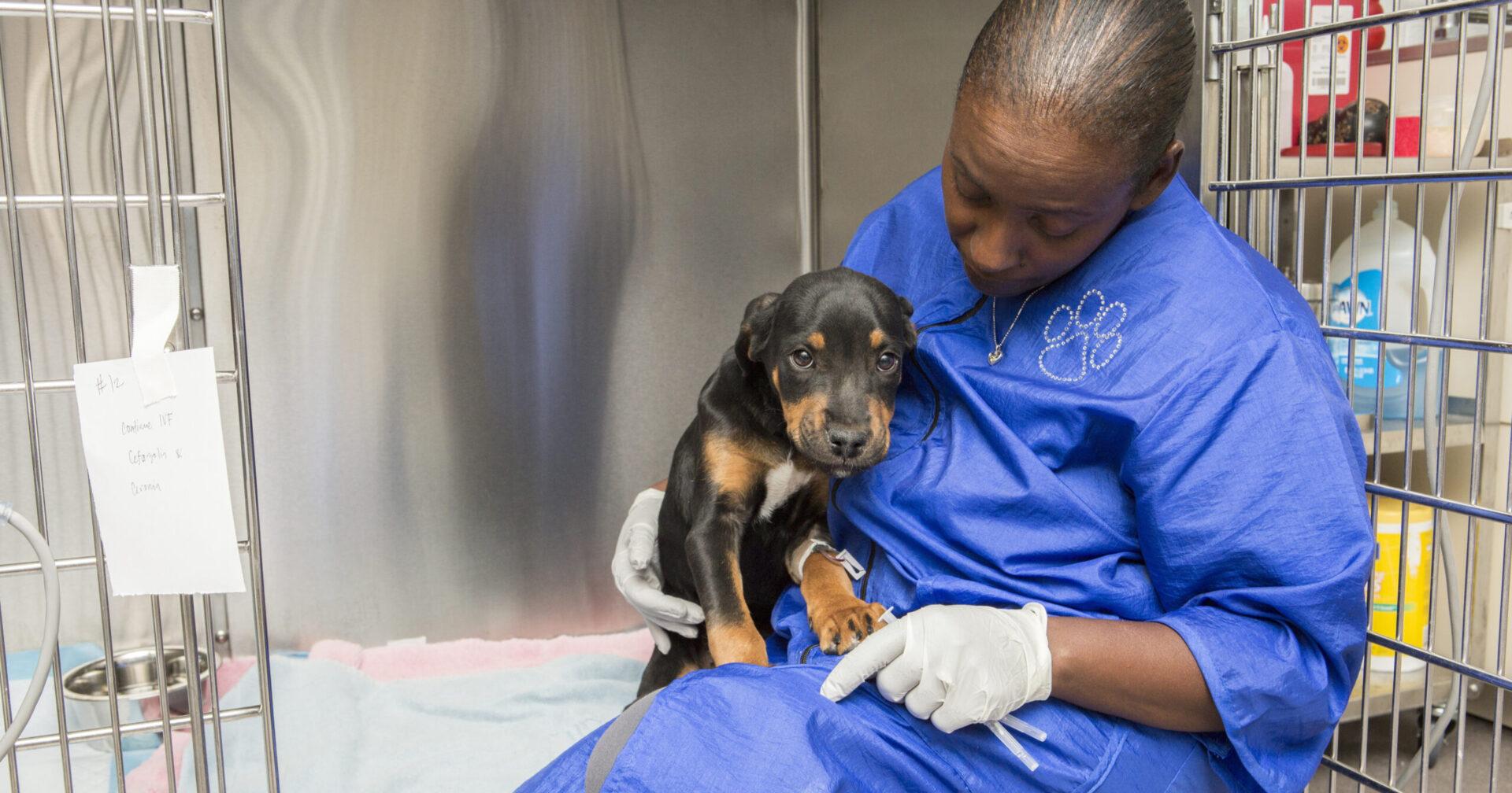 rotweiller puppy receiving treatment from vet
