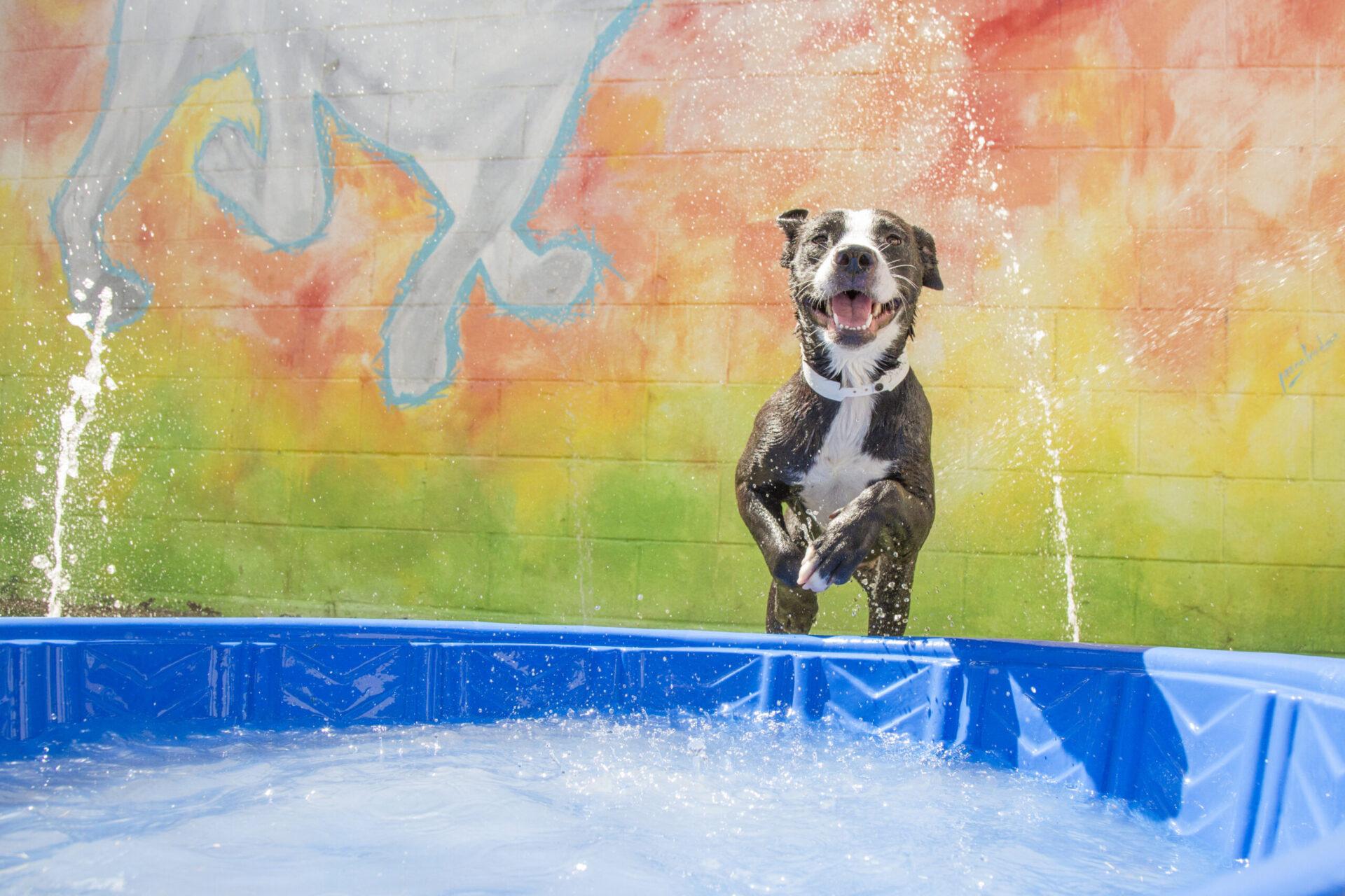 Happy pitbull mix jumping into pool